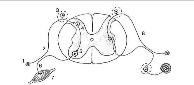 Схема строения соматической
