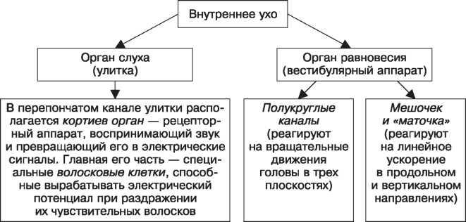 Схема строения внутреннего уха
