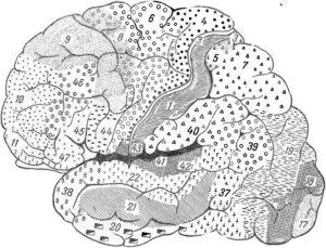 Рис. 7.Цитоархитектонические поля на наружной поверхности больших полушарий мозга человека